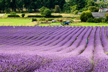 Hertfordshire Lavender Fields